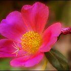 Pink Beauty by Helenvandy