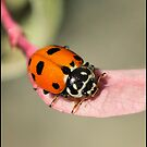 Orange Ladybeetle by Helenvandy