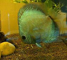 Blue Snakeskin Discus by Iscariot