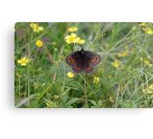 Scotch Argus Metal Print
