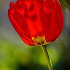 Red Tulip Shadows by relayer51