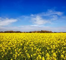 Field Of Rapeseed  by manateevoyager