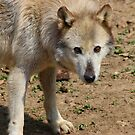 Watching - Wolf by Tony Wilder
