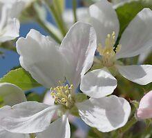Apple blossom by wraysburyade