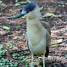 Young Heron by Cynthia48