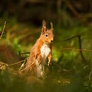 European Red Squirrel by Jon Lees