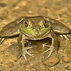 American Bullfrog in Pond by Lee Hiller
