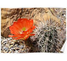 Orange Hedgehog Cactus Blossom Poster