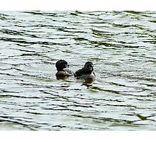 Pair of Pied Billed Grebe Photographic Print