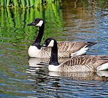 Canada Geese by Susie Peek