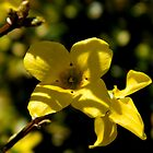 Forsythia Bloom by ctheworld