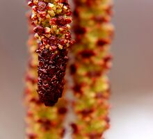 Male Catkins on an Alder by Kathleen Daley