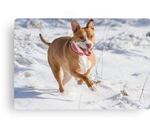 Happy Pit Bull Canvas Print
