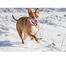 Happy Pit Bull Photographic Print