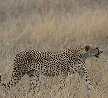 BROTHER CHEETAH 2 by David Lumley