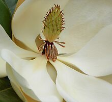 Magnolia Up Close by mussermd