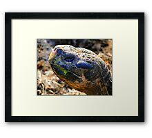 Large Galapagos Giant Tortoise Framed Print