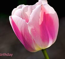 Happy Birthday pink tulip by ejrphotography
