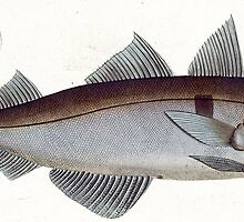 Haddock (Gadus Aeglefinus) by Bridgeman Art Library