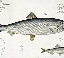 Herring (Clupea Harengus) by Bridgeman Art Library