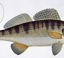 Pike-Perch (Perca lucioperca) by Bridgeman Art Library