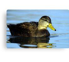 American Black Duck Portrait Canvas Print
