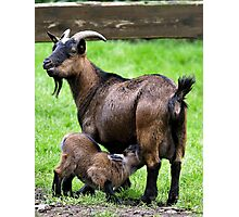 Pygmy Goat Mother And Baby Photographic Print