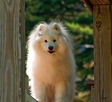 The Samoyed Smile by Lois  Bryan