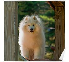 The Samoyed Smile Poster