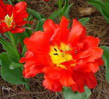 Reily Red Water Tulip by flossyrue