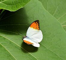 White and Orange Butterfly by gurineb