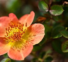 peach flower by Manon Boily