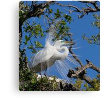 Great Egret Displays Plumage Canvas Print