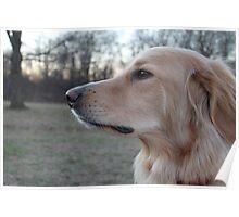 Dog/ Hovawart Poster