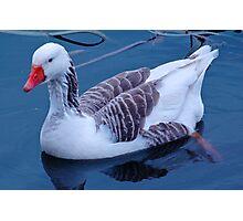 Domestic Goose Photographic Print