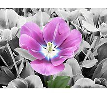 Purple, Blue, and White Tulip Photographic Print