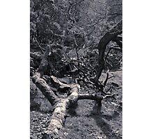 Trees, Dane (4) Photographic Print