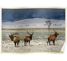 bull elk on the refuge Poster