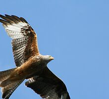 Red Kite 3 by GreyFeatherPhot