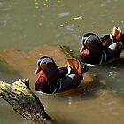 A pair of Mandarin Ducks by buttonpresser