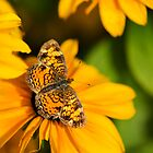 Pearl Crescent Butterfly on Golden Flowers by Christina Rollo