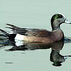 American Wigeon Duck Portrait by Oldetimemercan
