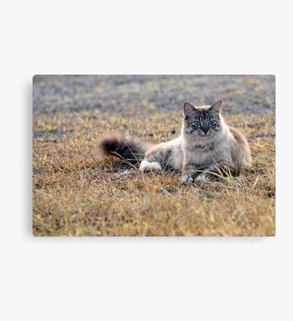 Chino cat! Canvas Print