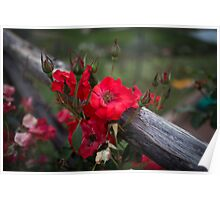 Tuscany Red Flower Poster