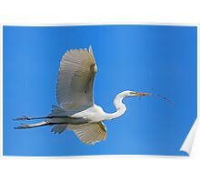 Great Egret Flies with Twig for Nest Poster