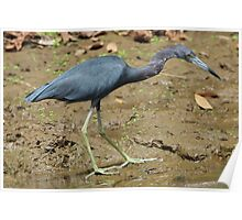 Little Blue Heron on the Beach Poster