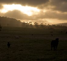 Cows at sunset  by aaronkenn