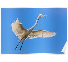 Flying Great Egret Poster