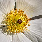 Prickly poppy (Argemone munita) by Celeste Mookherjee