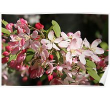 Crab apple blossom Poster